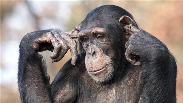 La vie sociale des chimpanzés est étudiée par les primatologues.