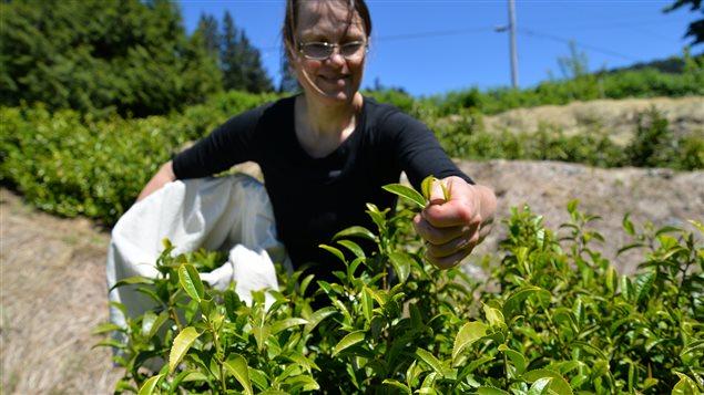 Margit Nellemann fait pousser du thé sur l'île de Vancouver, CB