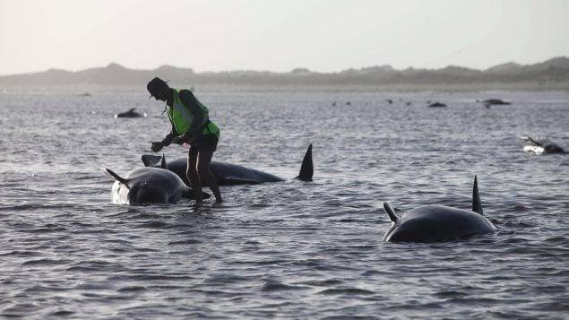 Un travailleur du département de conservation de la faune de la Nouvelle-Zélande tente de porter secours à une baleine échouée.