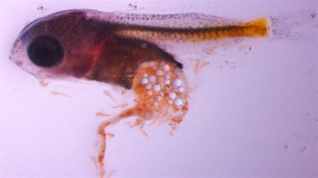 Microbeads in a larval perch gut. Plastics in the guts have been known to lead to the deaths of all kinds of marine creatures from tinay larval fish, to whales, seabirds, tortoises and seals.