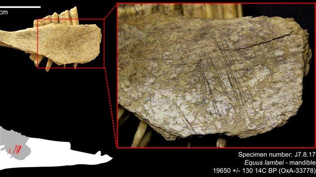 Détail d'une mandibule de cheval avec traces de découpe datée d'entre 22 et 24 000 ans avant notre ère.