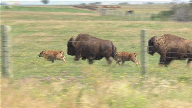 Des chercheurs de l'Université de la Saskatchewan ont réussi à faire naître des bisons des bois par fertilisation in vitro.