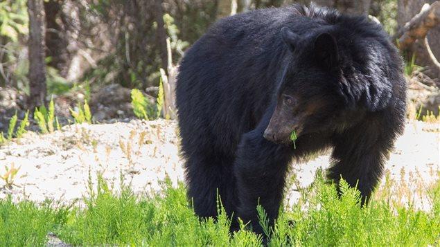 Un ours dans la région de Canmore en Alberta.