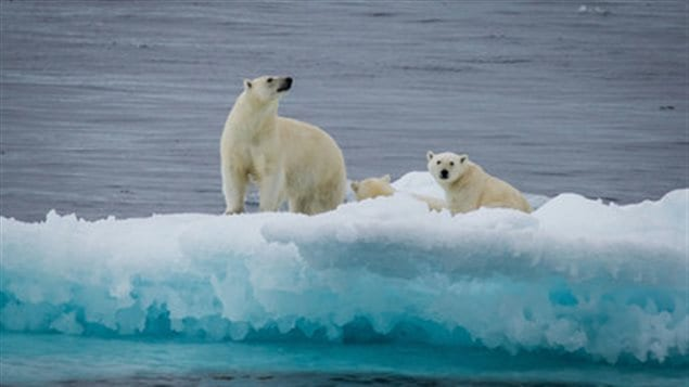 Polar bear and yearlings on an ice floe, Nunavut, Canada.