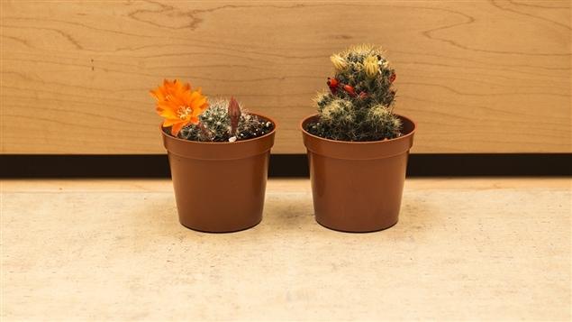 Les cactus de Pierre Gingras