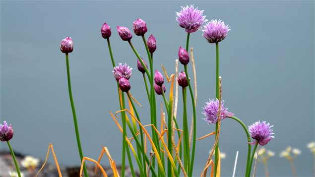 Botanists created the first records of Wild chives for the northern territory of Nunavut.