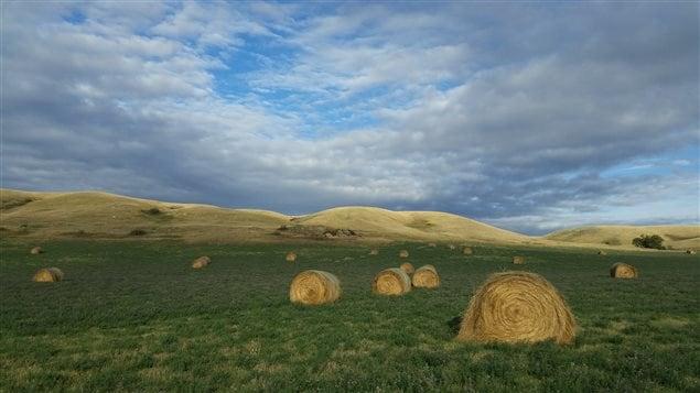 Un champ en Saskatchewan