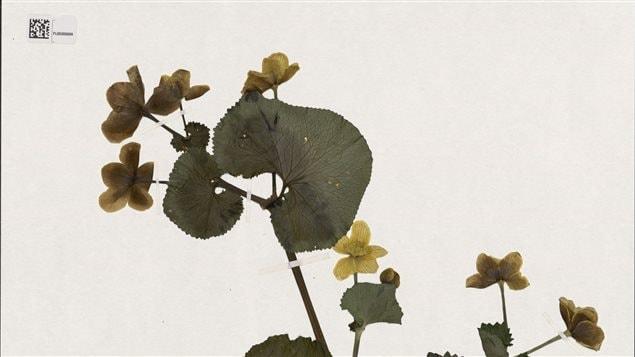 Caltha palustris (Populage des marais)