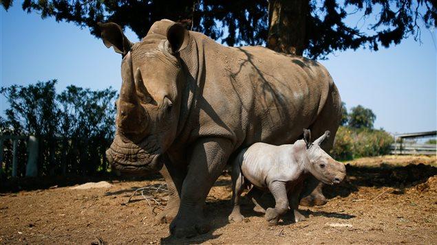 Selon l'organisation « Save the Rhino », on ne compterait plus que 29 000 rhinocéros dans le monde, contre 70 000 il y a 50 ans.
