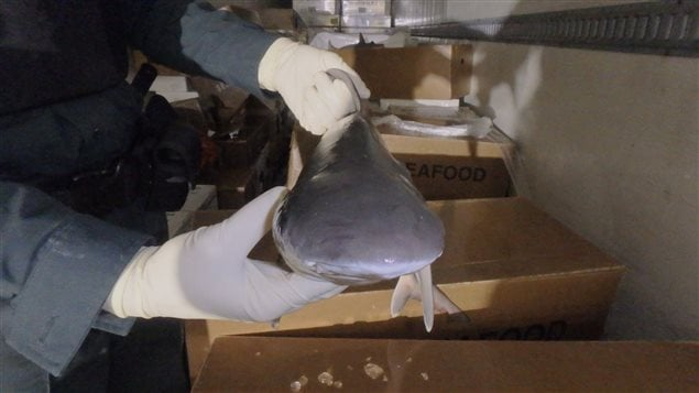 This shark was among the thousands of things seized during the international Operation Thunderbird.