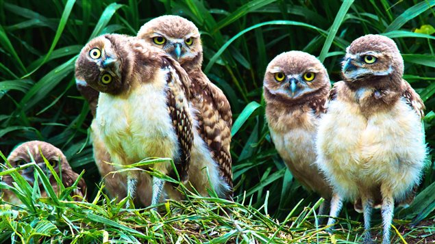 The Wideview Complex is home to endangered burrowing owls. There are fewer than 1,000 breeding pairs left in Canada.