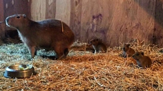 Zoo in Toronto announces birth of capybaras – Toronto Birth Announcements