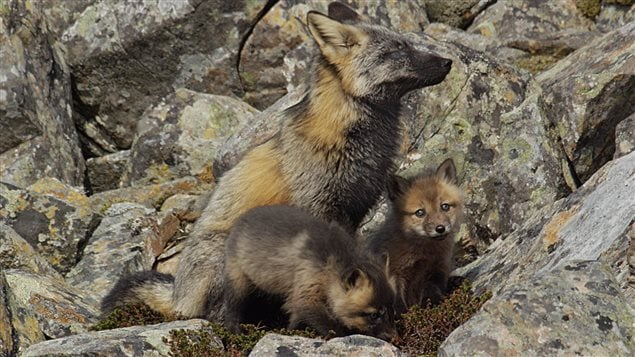 Red foxes in Newfoundland are different colour that blends in with their surroundings.