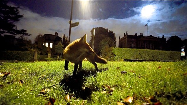 Although they are rarely seen, red foxes have moved into cities like Bristol in the U.K.