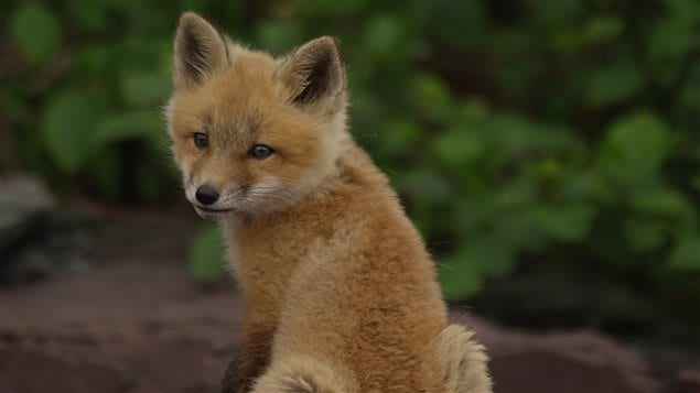 Young foxes are curious, playful and fun to watch.