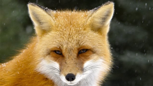 The red fox is smart and adaptable and has discreetly spread to many parts of the world.