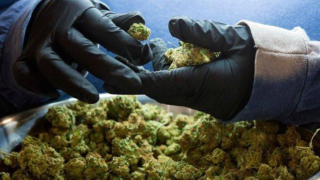 Le gouvernement fédéral fixerait les normes sanitaires et les provinces auraient la responsabilité de mettre en place les réseaux de distribution pour encadrer la vente du cannabis.LARS HAGBERG, ARCHIVES AFP