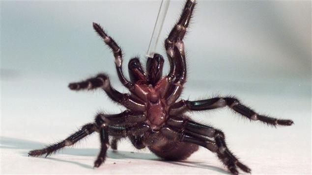 Une mygale australienne, dont on extrait le venin (archives)