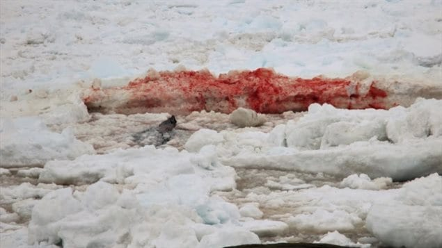 There is a great deal of blood on the ice, believed to be from the whale's tail as it struggles in the ice. Local onlookers say it's heart breaking