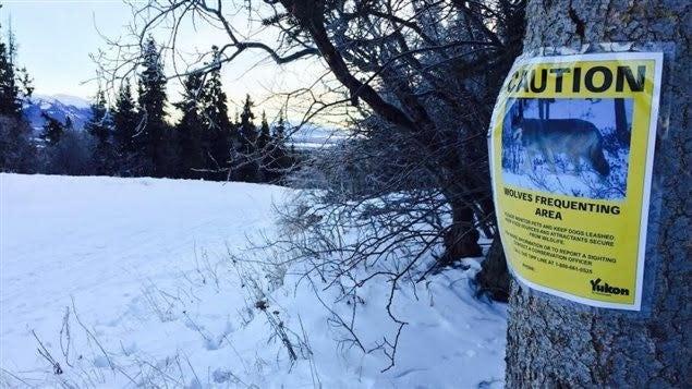 Attention au loups au Yukon