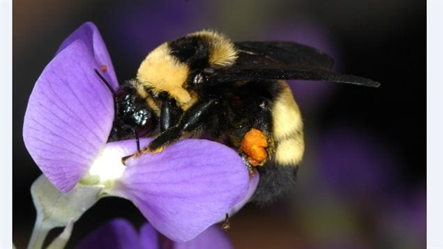 The bombus auricomus, female bumblebee with pollen on her legs. Found in Ontario, it is one that is considered not endangered.