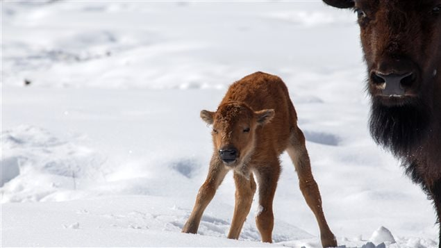 This bison calf's first steps in Banff's backcountry are part of a larger project to reintroduce wild bison to Canada's first national park.
