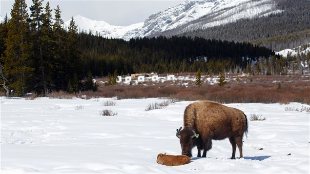 This little calf is the first bison born in Banff National Park's backcountry in over 140 years.