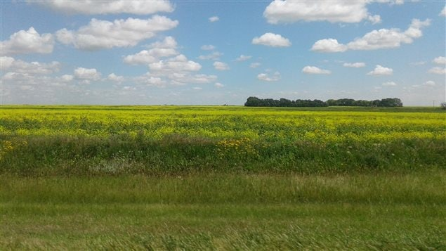 Un champ de canola en Saskatchewan