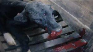 Un veau la bouche ensanglanté de l'entreprise Délimax au Québec.