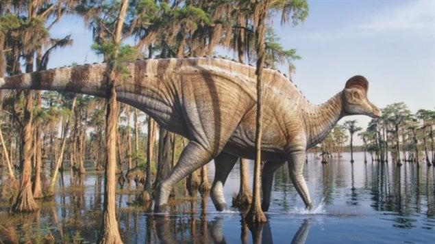 The Corythosaurus was a duck-billed plant-eating dinosaur.