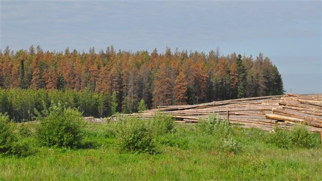 Warmer temperatures mean huge swaths of Canadian forest are devastated by the pine beetle which no longer freezes to death in winter.