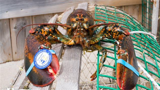 Un homard gaspésien