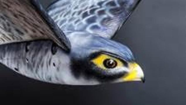 Up close, it wouldn't fool us, but as it flies so realistically, it could fool us in the air, and it certainly fools birds into thinking it's a real falcon
