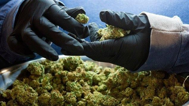 la-venta-de-la-marihuana-en-quebec-será-un-monopolio-estatal