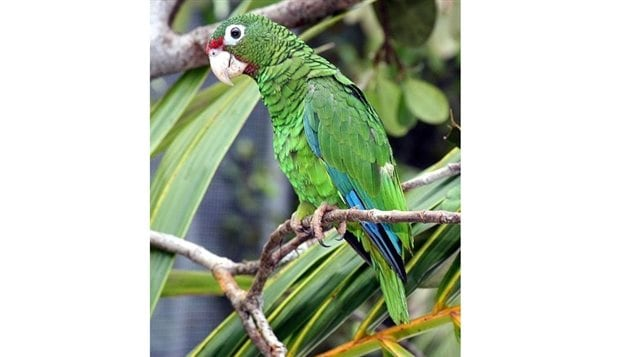 The Culebra parrot is extinct and its relative the Puerto Rican parrot is critically threatened as its habitat was removed. Dozens of species of mammals plants birds and fish have gone extinct in the past century through man's activities.