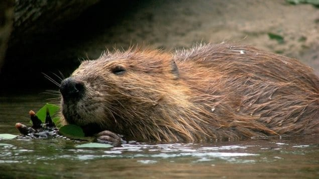 Beavers are considered ecosystem engineers — a keystone species. That means they alter the habitat for themselves and other animals.