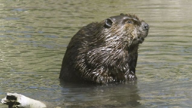 With warming and a changing climate, beaver have now moved into the Arctic as high as the ocean shoreline.