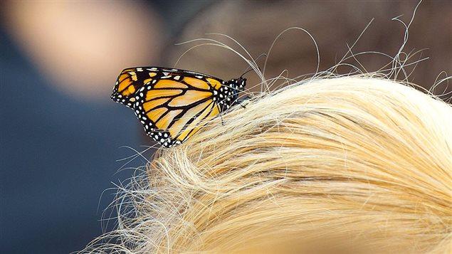 Un papillon monarque sur des cheveux