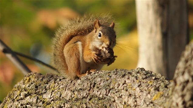 Planting native species can restore Carolinian habitat for animals like the red squirrel.