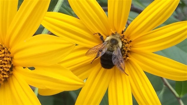 A bumble bee visits a Jerusalem artichoke in the Carolinian Zone.