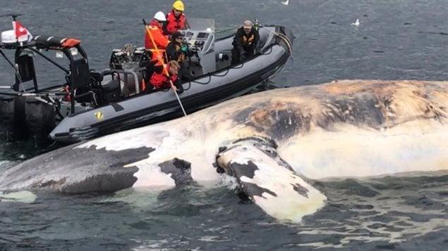 أحد الحيتان السوداء التي نفقت الصيف الفائت في خليج سان لوران