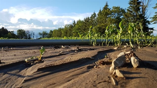 Ontario is Canada's major corn producer, but rain has drowned some plants, and washed away others. Many seeded crops throughout the province have suffered damage even as farmers feverishly try to drain their fields.