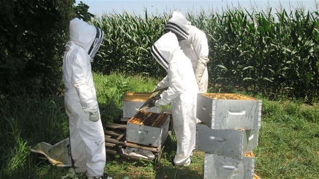 Setting out bee hives for the study near neonic corn fields in southern Ontario and Quebec as part of a real world condition, season -long study.