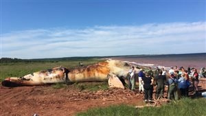 Des spécialistes des animaux marins ont dépecé la carcasse qui a été hissée sur la côte. Photo : Radio-Canada/Nicolas Steinbach