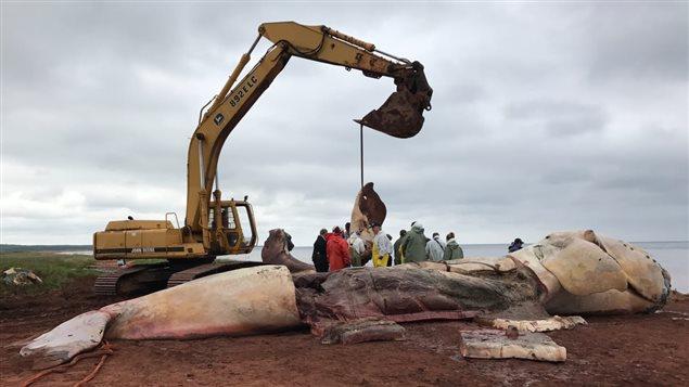 Les chercheurs qui ont pratiqué des autopsies sur trois baleines noires mortes dans le golfe du Saint-Laurent ont dû retirer l'épaisse couche de graisse des mammifères marins avec une pelle mécanique.   Photo : Courtoisie, Marine Animal Response Society