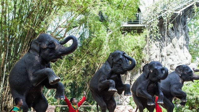*Tricks* are not natural for elephants and puts unnatrual straini on their bodies, feet and joints. Animal rights agencies say training only comes through a breaking of the animal's will, and fear of beatings.
