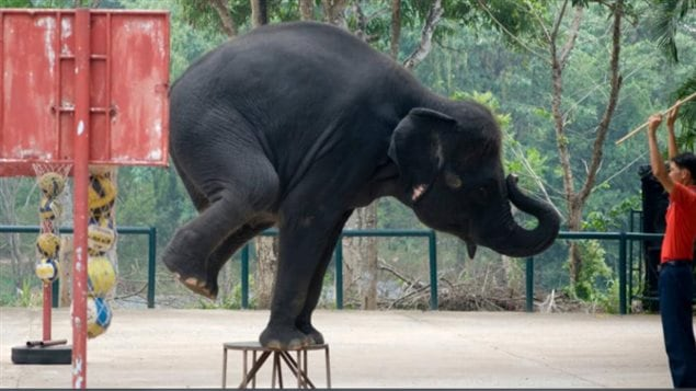 In order to be *trained* the elephant's natural wild *spirit* must be broken while still young according to World Animal Protection.