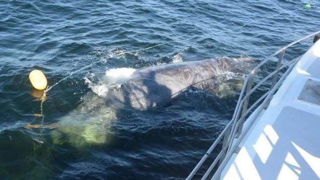 Un équipage libère une baleine noire empêtrée dans un filet de pêche
