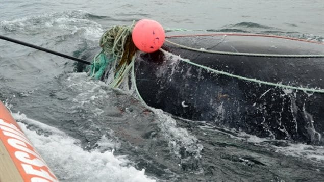 Getting tangled in fishing gear is one of the main threats to right whales along with bumping into ships.