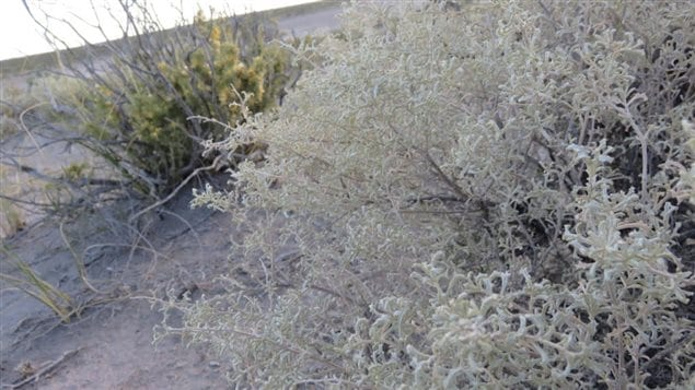 Plant of the genus Atriplex which is very saline. There are even salt grains on the leaves, giving them a whitish hue. The red vizcacha rat specializes on this species. It is not yet sure what role the rat's genome may or may not play in the rat's ability to live on the high saline diet.
